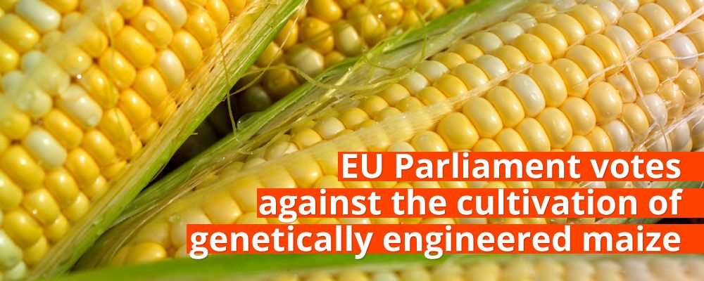 EU Parliament votes against the cultivation of genetically engineered maize