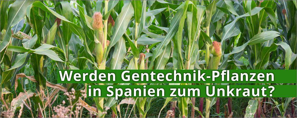Werden Gentechnik-Pflanzen in Spanien zum Unkraut?
