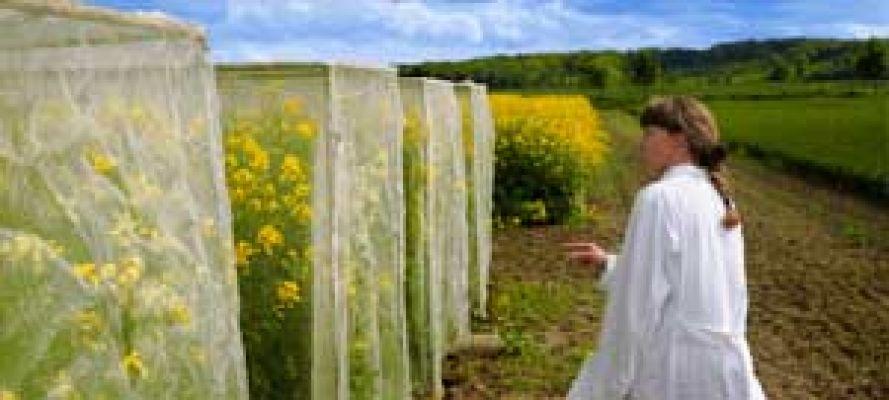 Wissenschaftlerin auf einem Mais-Versuchsfeld - Testbiotech